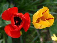 n_B_tulipani_1024