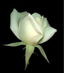 rosewhite4wp